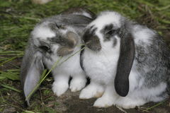 Two rabbits. Royalty Free Stock Image