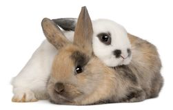 Two rabbits in front of white background. Isolated on white stock image