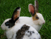 Two rabbits in a garden Royalty Free Stock Images