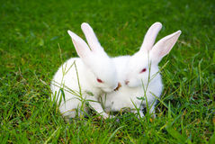 Two rabbits on the grass Stock Photos