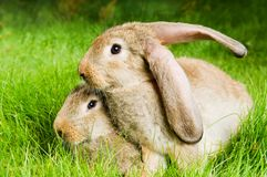 Two rabbits on green grass Royalty Free Stock Image