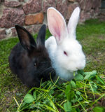 Two rabbits Royalty Free Stock Image