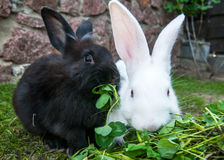 Two rabbits Stock Images