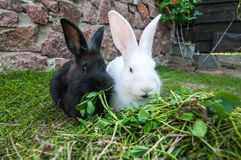 Two rabbits Royalty Free Stock Photography
