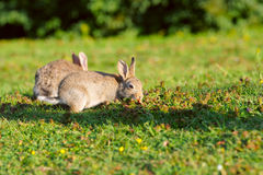 Two rabbits on green grass Stock Photography