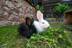 Two rabbits on green grass. Royalty Free Stock Photos