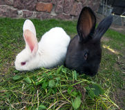 Two rabbits on green grass. Royalty Free Stock Images