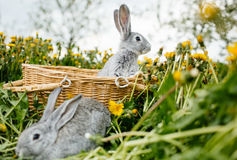 Two rabbits in green grass. On the farm Stock Photography
