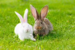 Two rabbits in green grass Stock Photo
