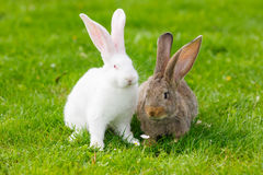 Two rabbits in green grass. White and brown rabbits in green grass Royalty Free Stock Photo