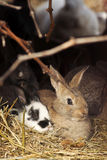 Two rabbits on hay. Two rabbits sitting on hay in a farm Royalty Free Stock Image