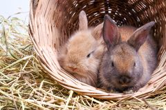 Free Two Rabbits In The Basket Stock Photo - 153848640