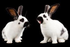 Two rabbits Royalty Free Stock Images