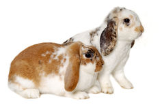Two rabbits isolated on a white background. Two sweet rabbits is sitting on a white background Stock Photo