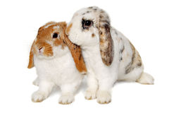 Two rabbits isolated on a white background. Two sweet rabbits is sitting on a white background Royalty Free Stock Image