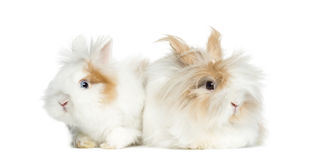 Two Rabbits lying side by side, isolated royalty free stock images
