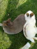 Two rabbits Royalty Free Stock Photo