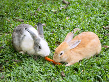 Two rabbits sharing a carrot Royalty Free Stock Photos