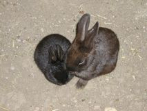 Two rabbits sit in the sand.  Royalty Free Stock Photos