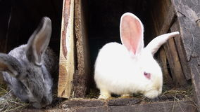 Two rabbits sitting in their cages. stock footage
