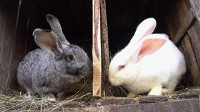 Two rabbits sitting in their cages. stock video footage