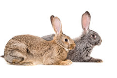 Two rabbits Stock Photos