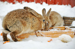Two rabbits in the snow Stock Photo