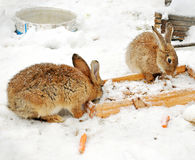 Two rabbits in the snow Stock Photos
