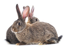 Two rabbits. Two rabbits on a white background Royalty Free Stock Images