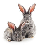 Two rabbits. Royalty Free Stock Images