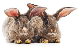 Two rabbits. Royalty Free Stock Photo