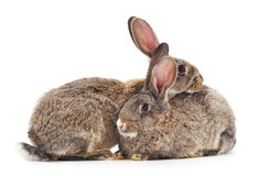 Two rabbits. Stock Images