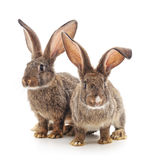 Two rabbits. Royalty Free Stock Photos