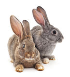 Two rabbits. Stock Photography
