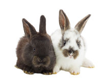 Two rabbits on white background Stock Image