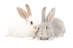 Two rabbits. White and gray rabbits together isolated on white background Royalty Free Stock Image