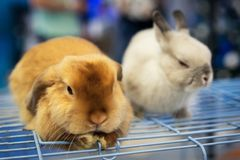 Two rabbits white and red cute lovely animal exhibition.  stock photos