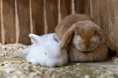 Two rabbits white and red sitting in the cage royalty free stock image