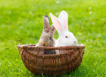 Two rabbits in wicker basket Royalty Free Stock Photos