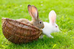 Two rabbits in wicker basket. White and brown rabbits in wicker basket Royalty Free Stock Photo