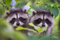 Two raccoon cubs in a tree Royalty Free Stock Image