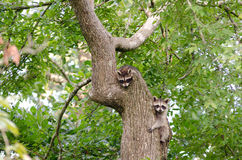 Two Raccoon Kits in Tree Stock Photo