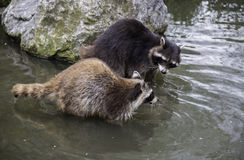 Two raccoon playing together in the water Stock Image