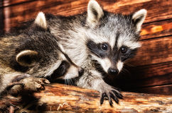 Two raccoon Royalty Free Stock Photography
