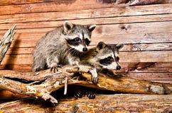 Two raccoon Royalty Free Stock Photo