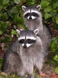 Two Raccoons Royalty Free Stock Photos