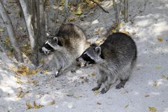 Two raccoons on the beach royalty free stock photography