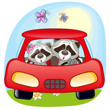 Two Raccoons in a car Stock Photos