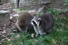 Two raccoons Stock Photos