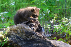 Two raccoons in a hollow log Royalty Free Stock Images
